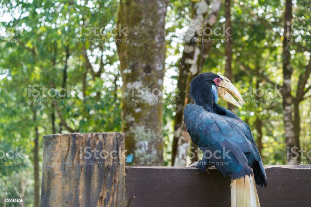 Helmeted hornbill in the forest stock photo