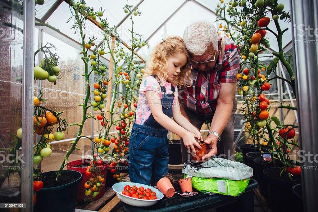 Helping Grandad Plant Tomatoes stock photo