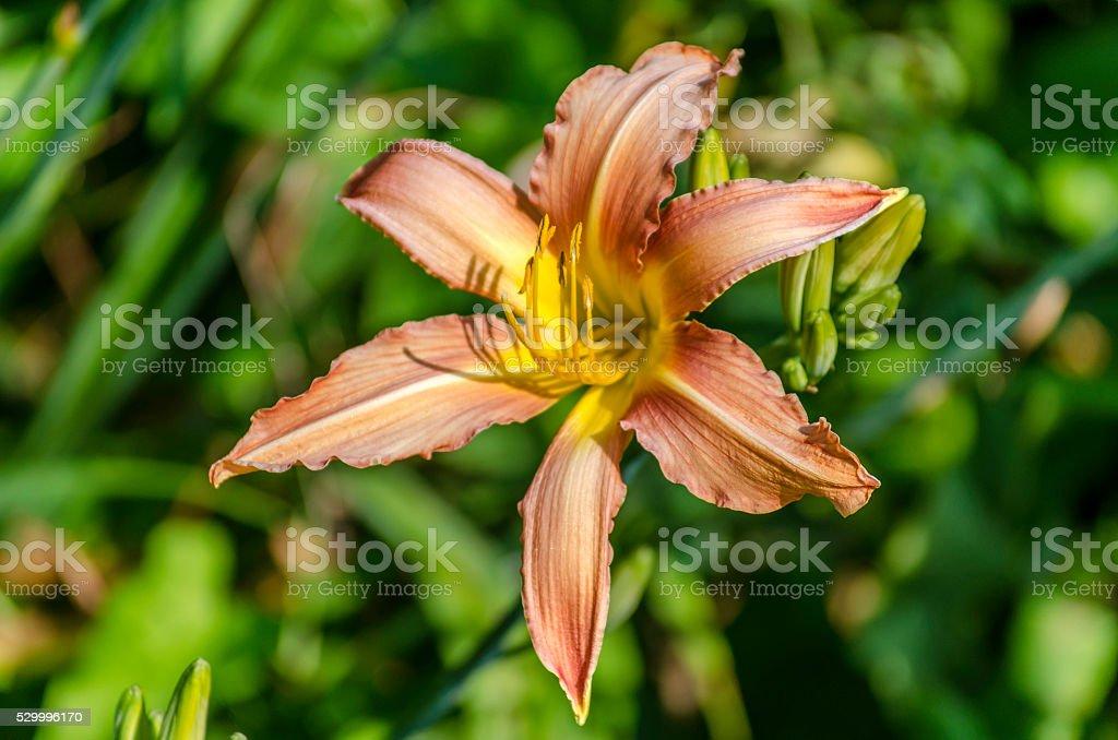 Hemerocallis Autumn Pride Day Lily royalty-free stock photo