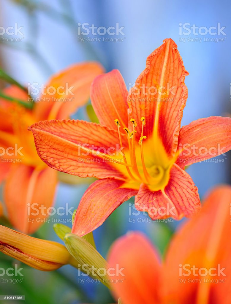 Hemerocallis - Beautiful daylily flowers blossom in the garden stock photo