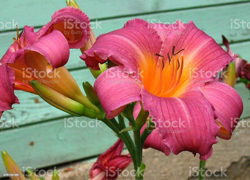 Hemerocallis Shugan Candy stock photo