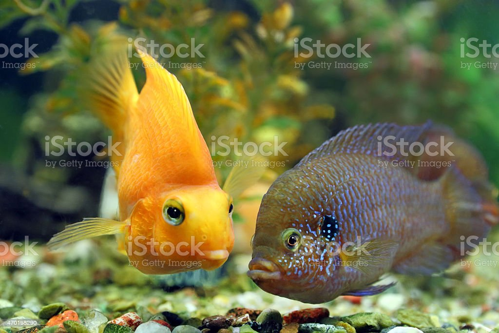 Hemichromis bimaculatus together with Cichlasoma parrot stock photo
