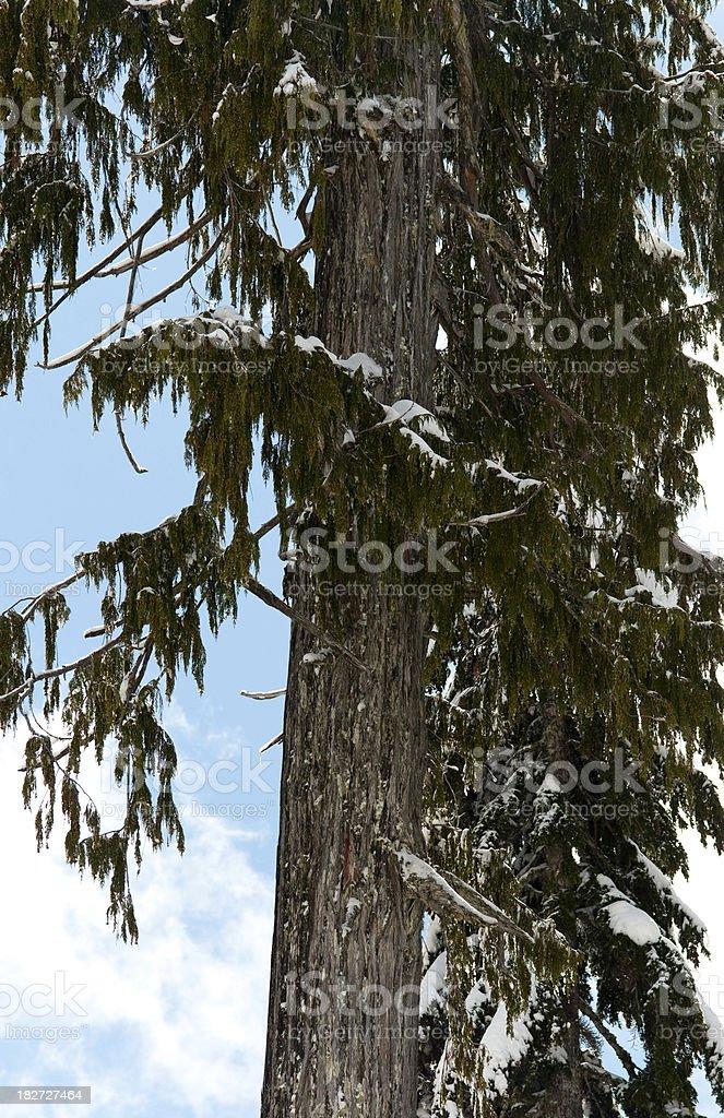 Hemlock Tree stock photo