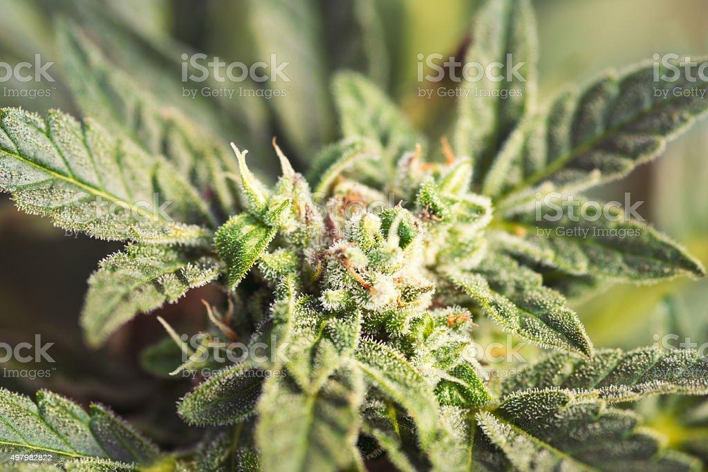 Hemp (cannabis) bud - detail stock photo