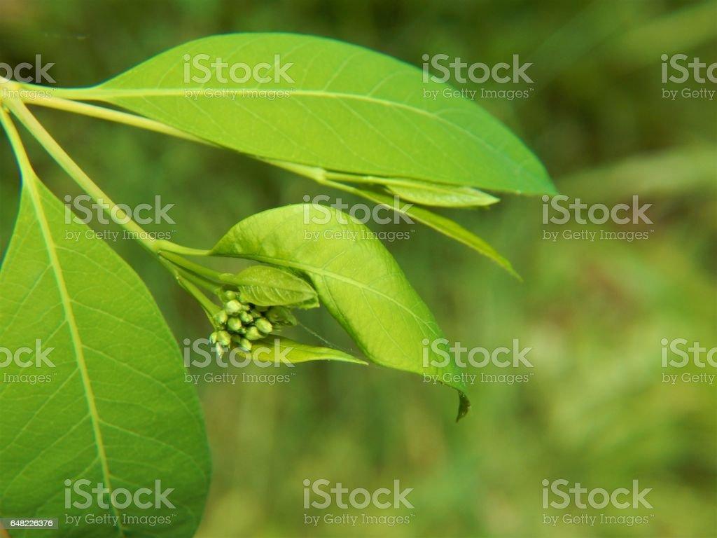 Hemp Dogbane Flower Buds Emerging stock photo