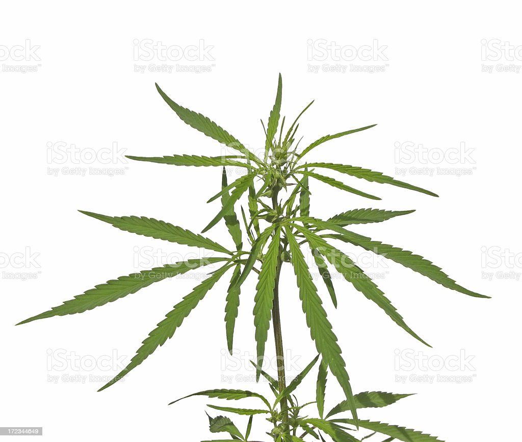 hemp royalty-free stock photo