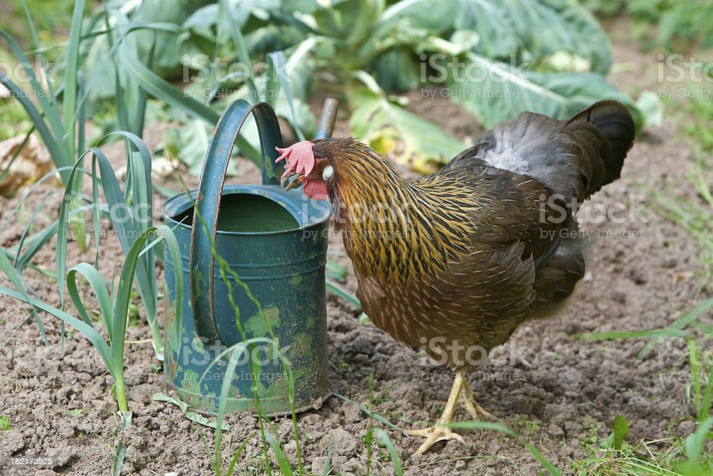 Hen And Watering Can royalty-free stock photo