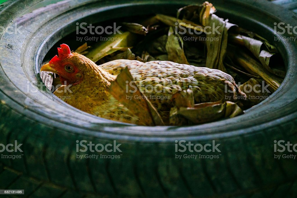 Hen brooding in the tire stock photo