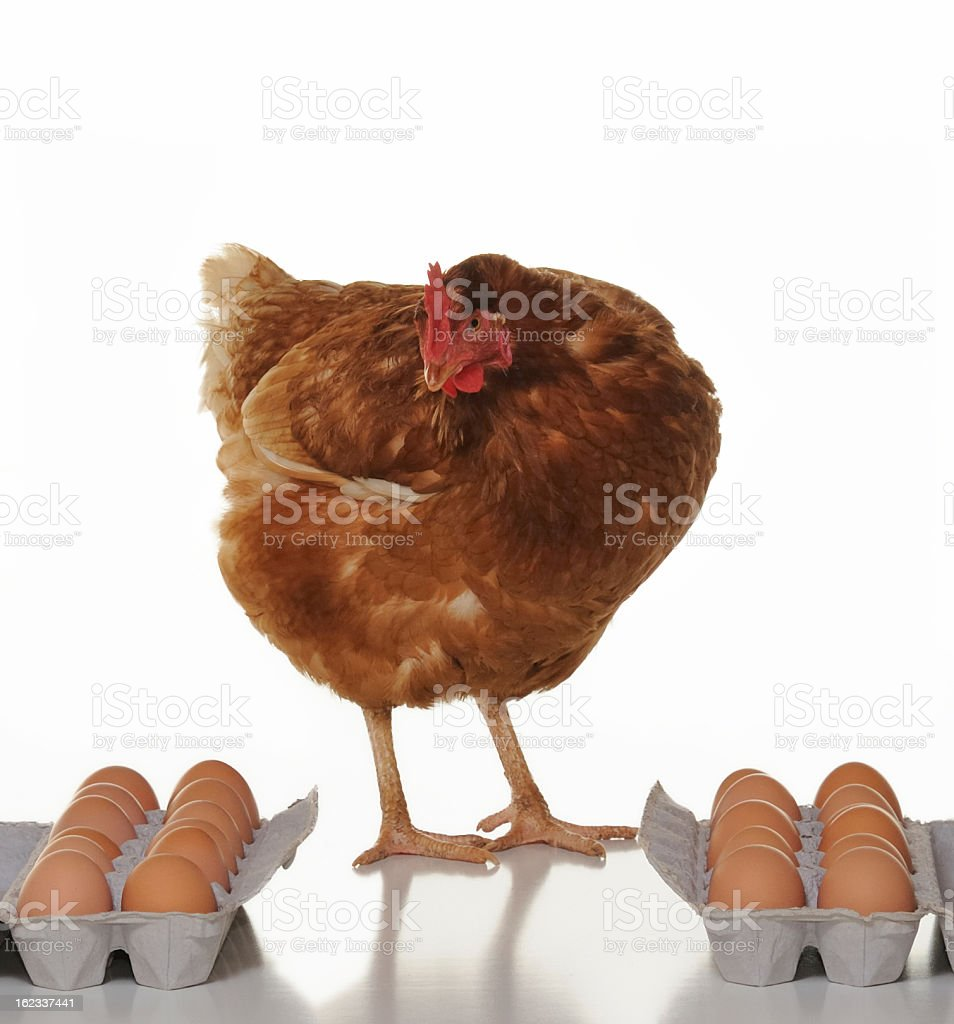 Hen checking product before shipment stock photo