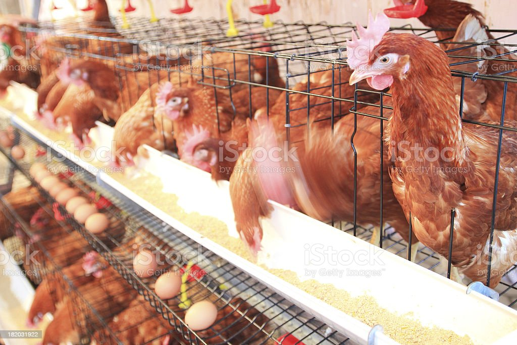 hen, chicken and eggs farm stock photo