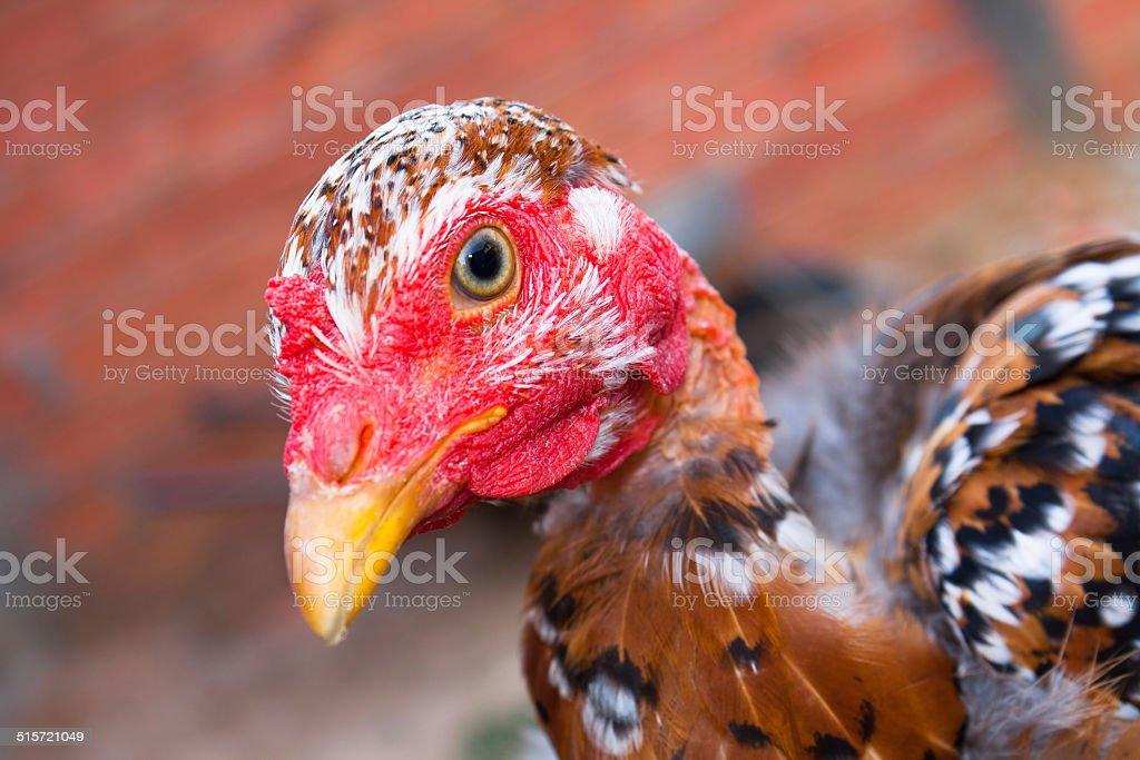Hen Close-Up Chicken Headshot stock photo