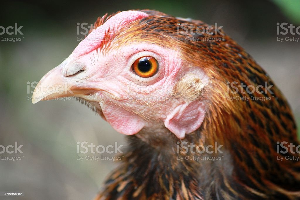 Hen, face, Freeliving Golden Laced Wyandotte Chicken yellow black fringed stock photo