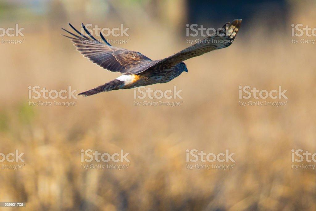 Hen harrier, seen in the wild near the San Francisco Bay stock photo