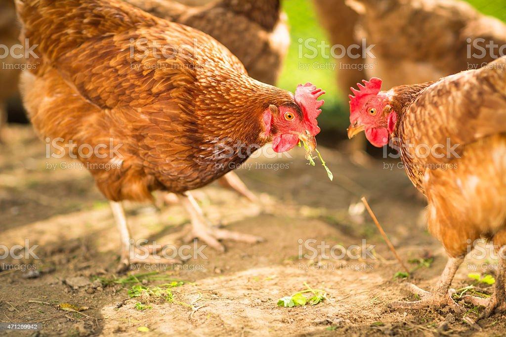 Hen in a farmyard stock photo