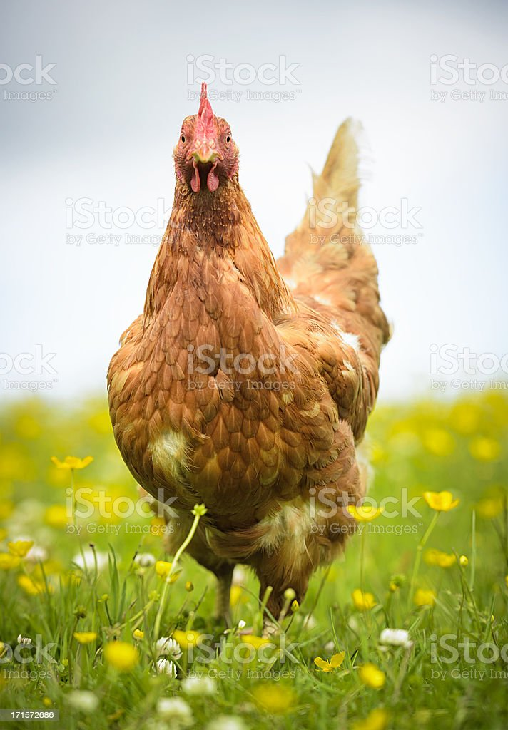 Hen in a Meadow stock photo