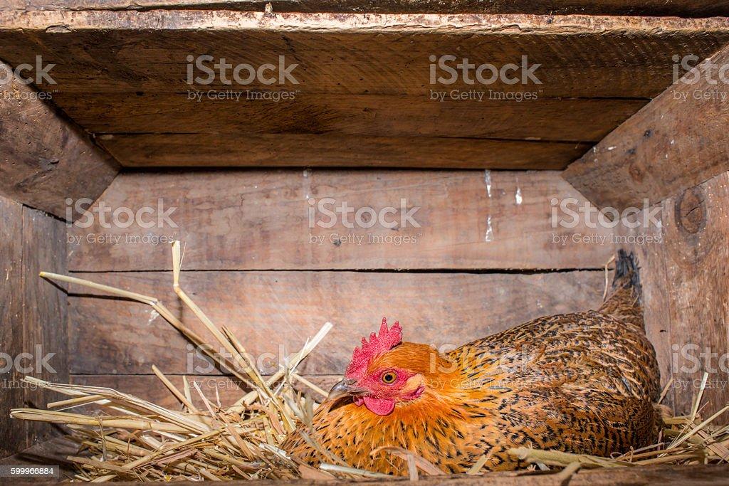 Hen in Chicken Coop stock photo