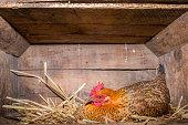 Hen in Chicken Coop