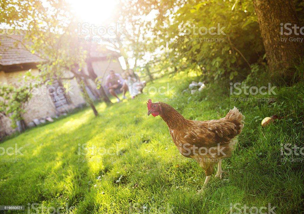 Hen in garden stock photo