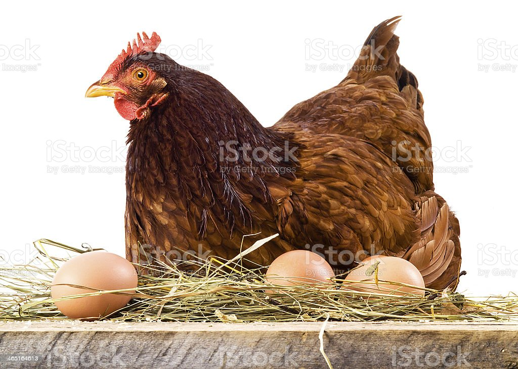 Hen in hay with eggs isolated on white stock photo
