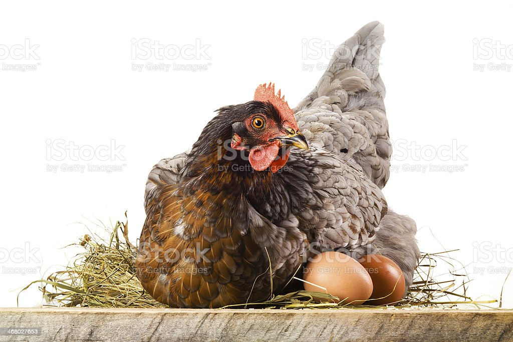 Hen in nest with eggs isolated on white stock photo