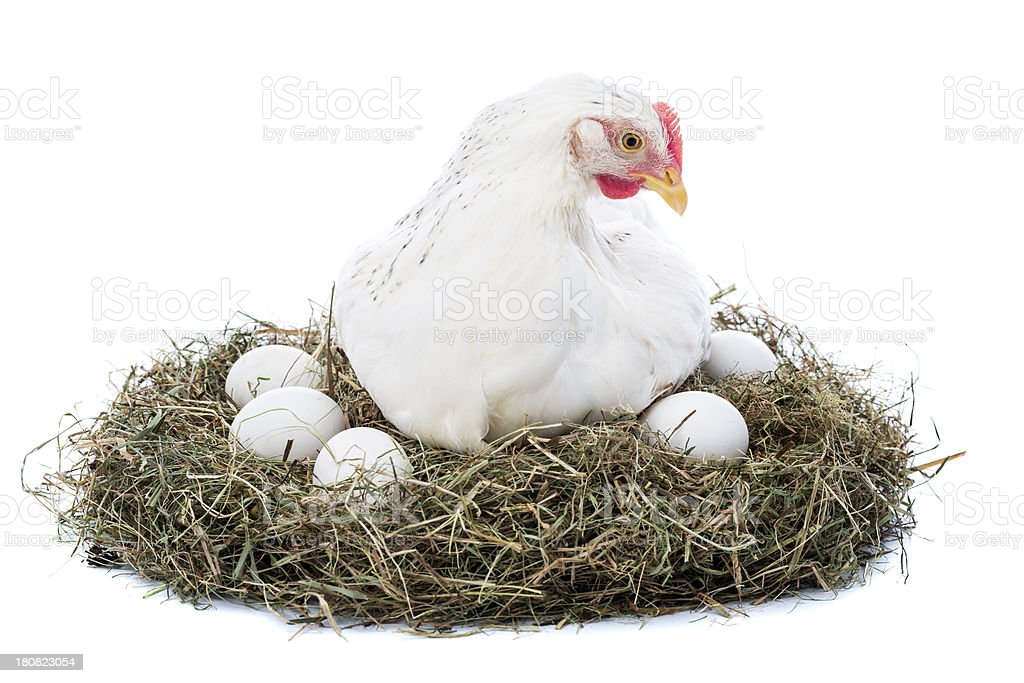 Hen in nest with eggs stock photo