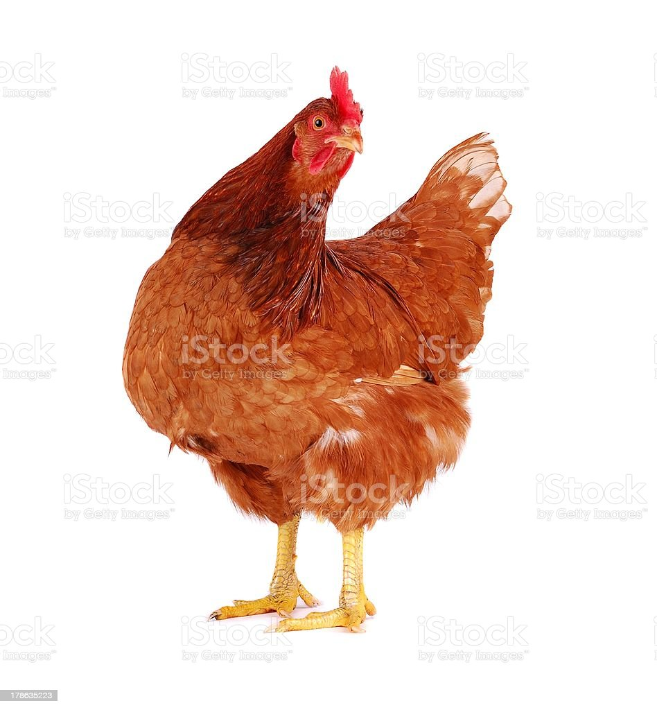 Hen isolated on white. stock photo