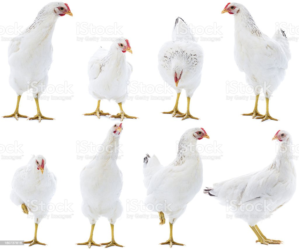 Hen isolated on white stock photo