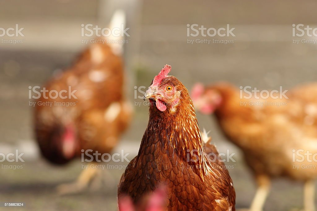 hen looking at the camera in farm yard stock photo