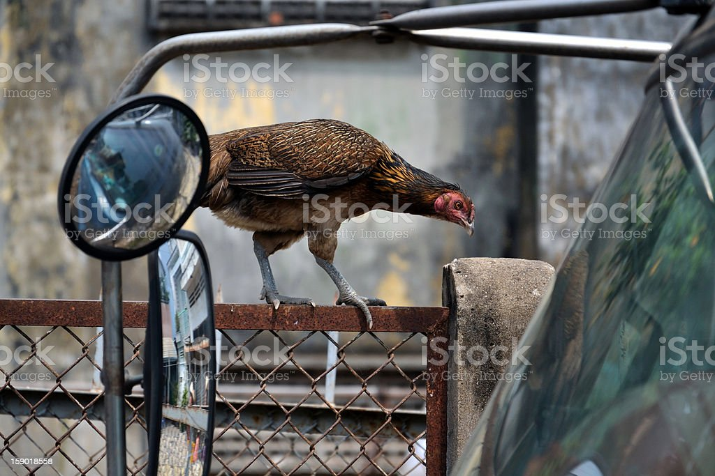 Hen on fence royalty-free stock photo