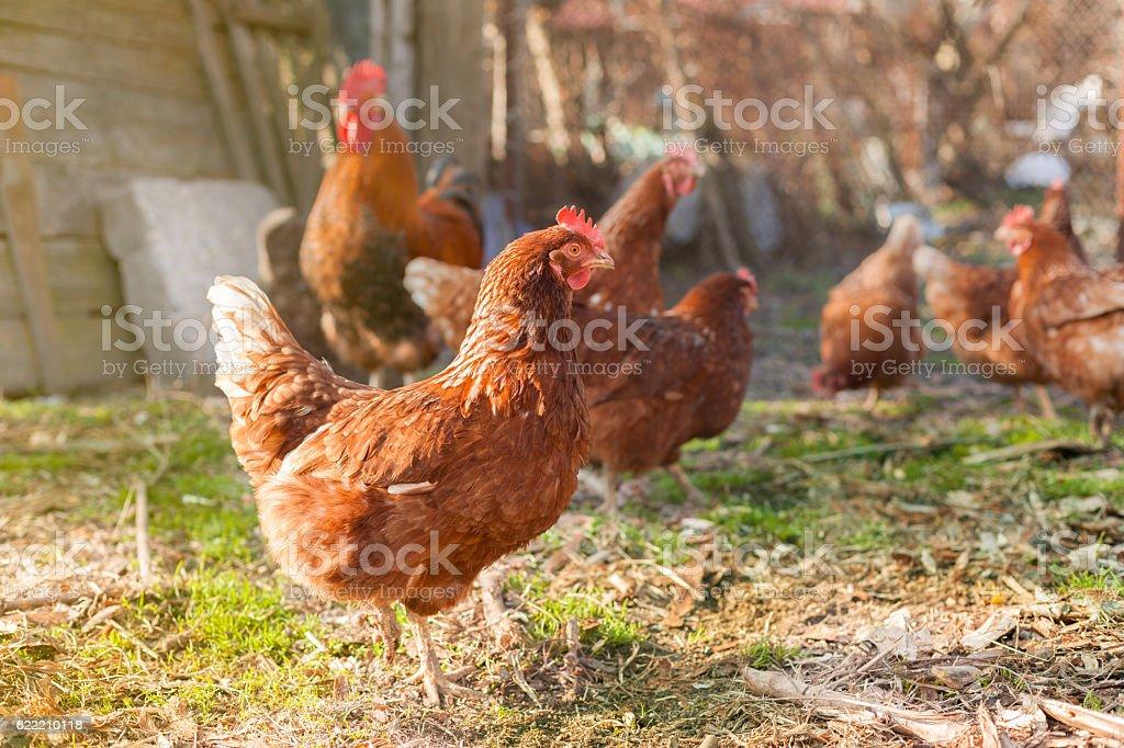hen on the farm stock photo