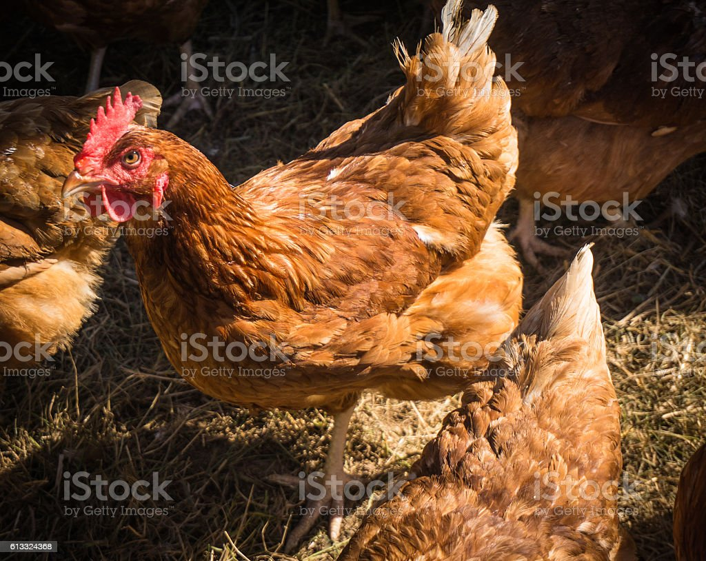 hen stock photo