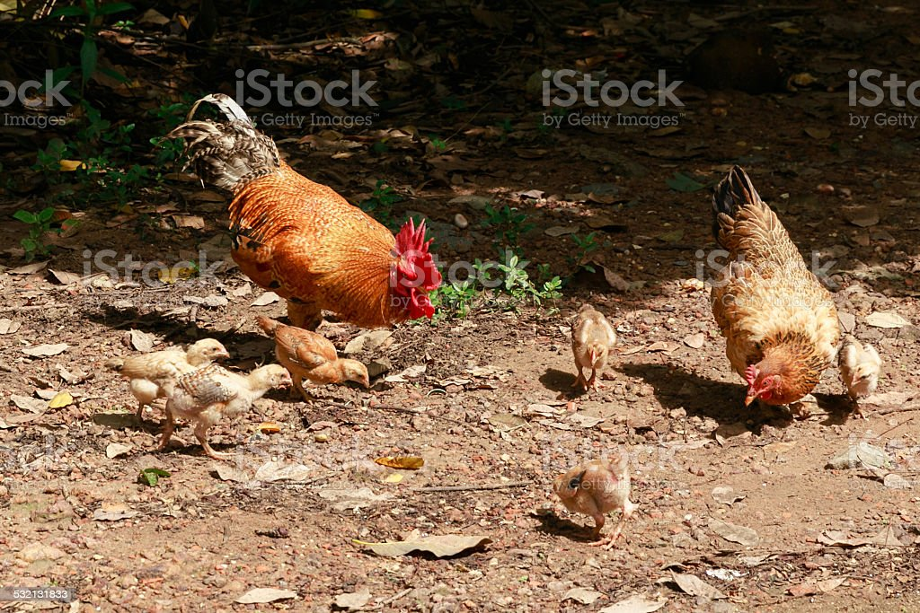Hen rooster and cubs stock photo