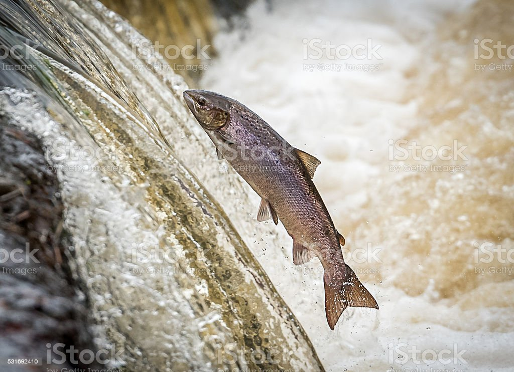 Hen Salmon Leaping Weir to Spawn stock photo