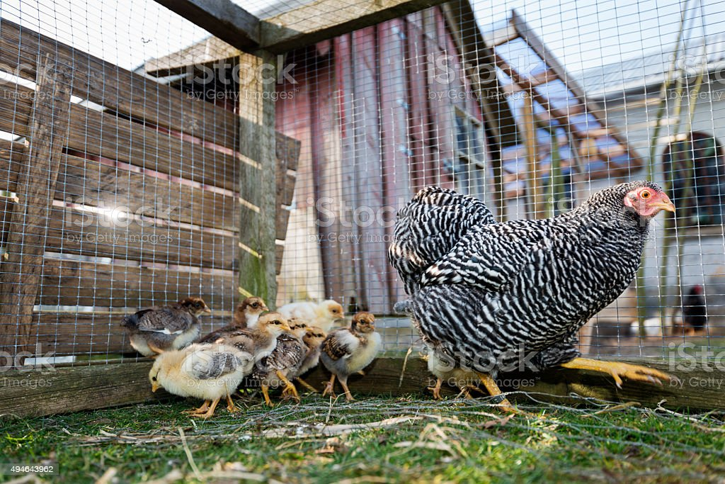 Hen Strutting Around Her Outdoor Coop stock photo