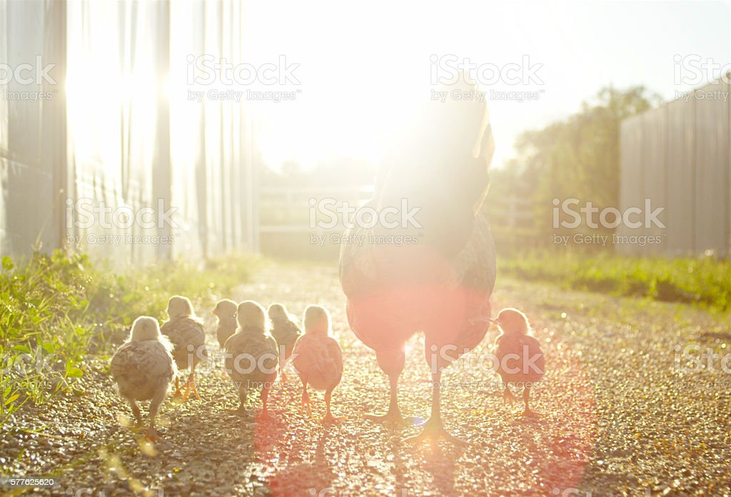 Hen with baby chickens chicks walking together on a farm stock photo