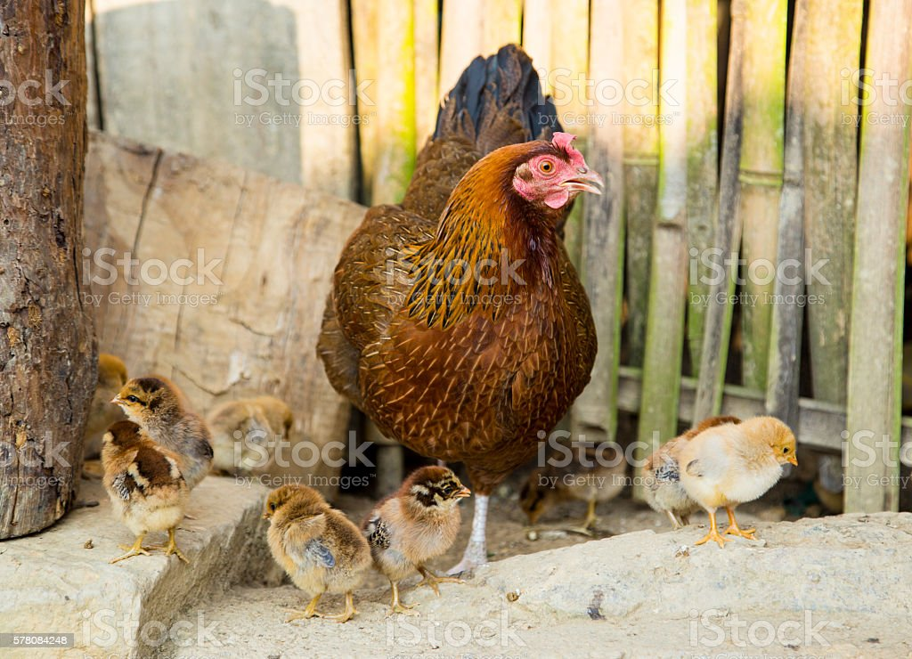 Hen with chickens stock photo