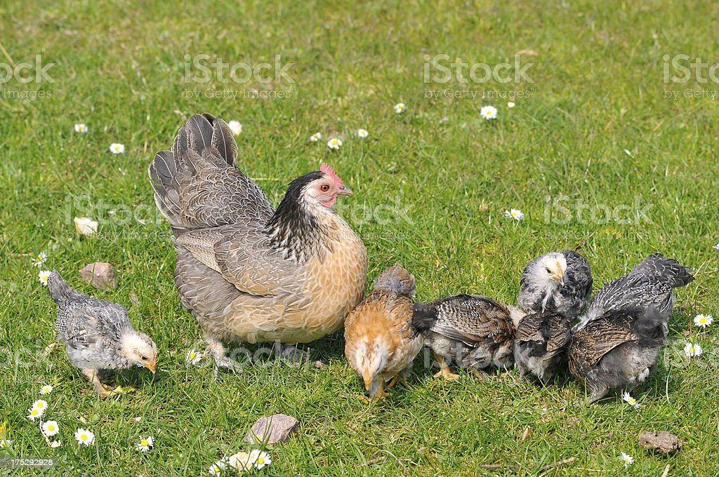 Hen with chicks stock photo