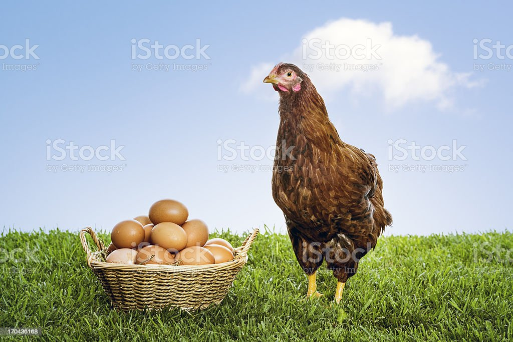 Hen with organic brown eggs piled in a wicker basket stock photo