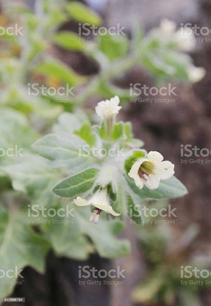 Henbane (Hyoscyamus niger) stock photo
