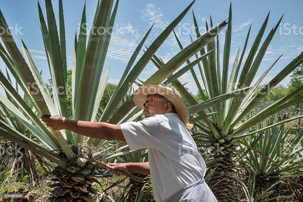 Henequen Cactus Farmer stock photo