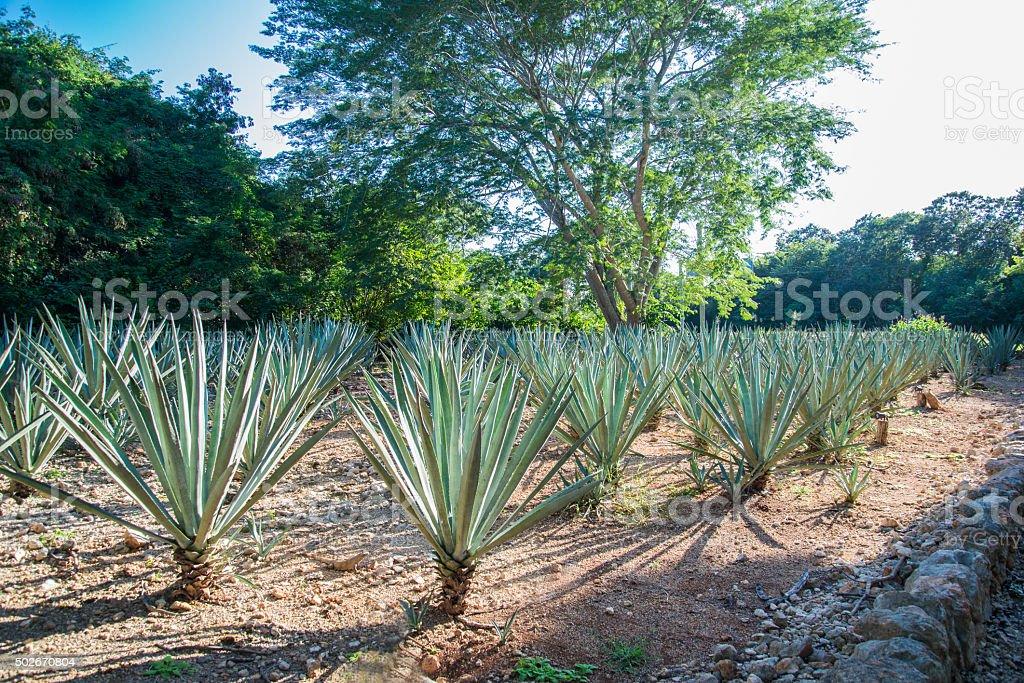 Henequen field. Yucatan Mexico stock photo