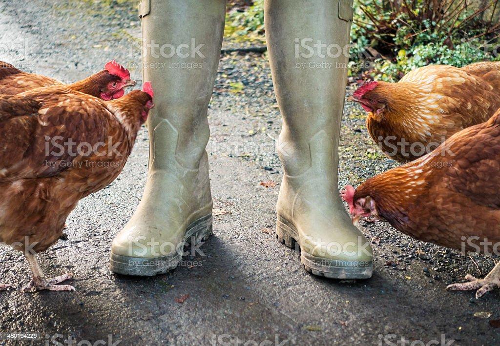 Henpecked farmer stock photo