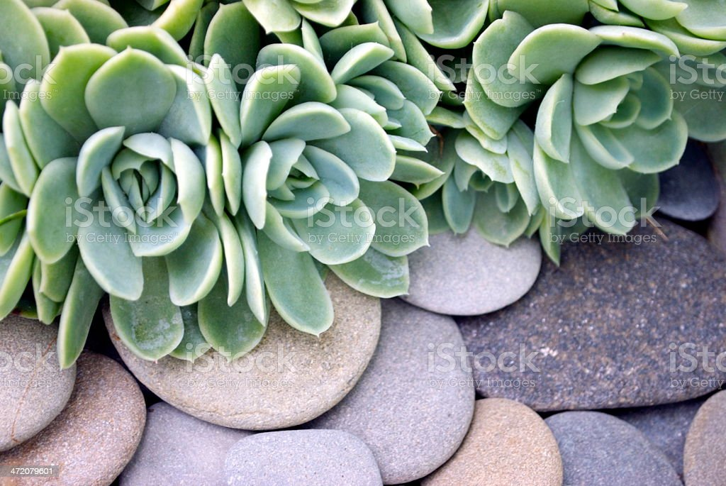 Hens and Chicks plant over a bed of smooth rocks stock photo