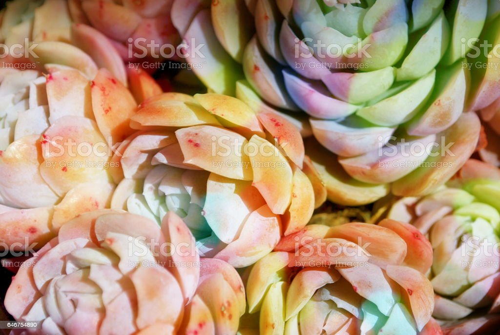 'Hens and Chicks' Succulent, Filtered stock photo