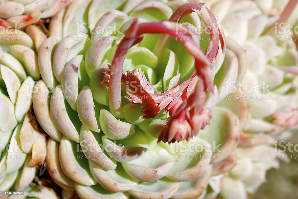 'Hens and Chicks' Succulent in Bloom stock photo