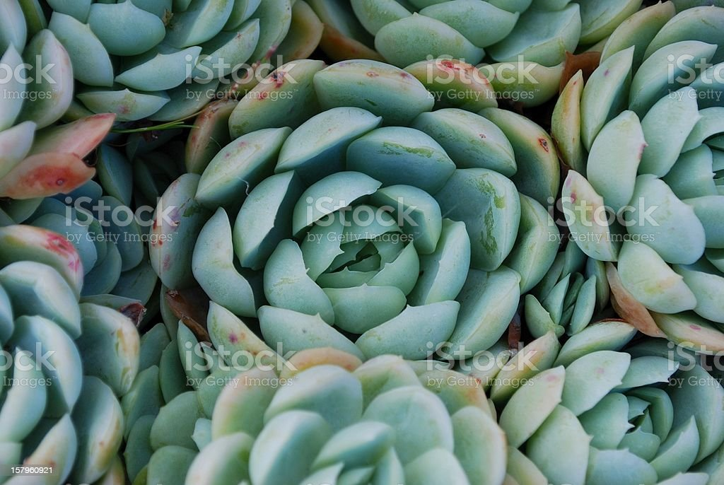 'Hens and Chicks' Succulent stock photo