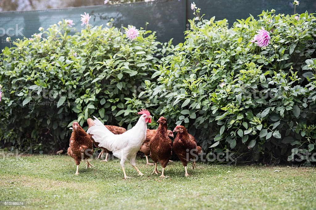Hens and cock in garden at country side. Summer day. stock photo