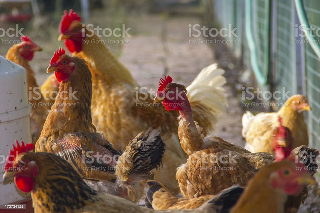 Hens and roosters stock photo