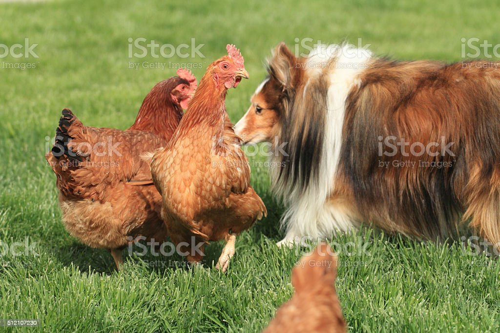 Hens and Sheltie stock photo