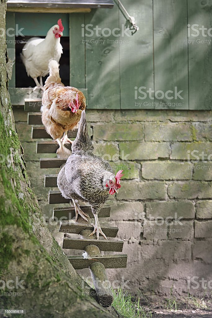 Hens Following the Leader stock photo